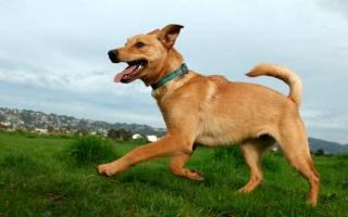 Чиндо собака: описание корейской породы и стоимость щенка
