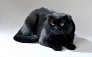 Черный вислоухий кот: описание представителей шотландской породы, содержание и уход, правила питания
