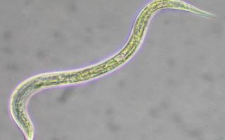 Нематоды или маленькие белые червячки в аквариуме: откуда появляются паразиты, как избавиться и опасны ли они для человека