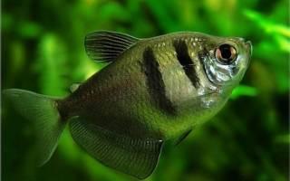 Рыбка тернеция: содержание, уход и размножение, совместимость с данио и другими рыбами