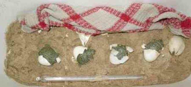 Красноухие черепахи: содержание, уход, кормление и размножение в домашних условиях, как быстро растут