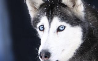 Инфекционный и вирусный гепатит у собак: симптомы и лечение, профилактика
