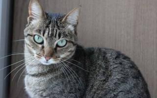 Лейкоз или вирусная лейкемия у кошек: симптомы и лечение, прививки, передается ли человеку