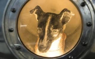 Собака Лайка космонавт: первый полет в космос и роль для науки