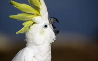 Крик попугая: как кричит или орет, причины, что значит и как отучить