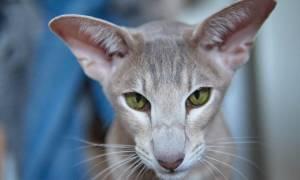 Кот грузин: что за порода, происхождение и характер ориентальной кошки