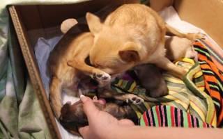 Чихуахуа: беременность и роды, сколько длится, сколько щенков рождается