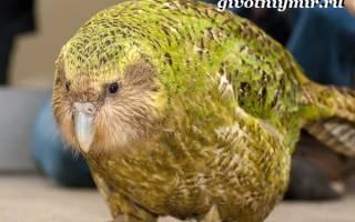Совиный попугай или какапо: описание и меры по охране попугая