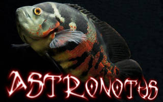 Астронотус: содержание и уход за рыбкой оскар в домашних условиях, с кем уживаются в аквариуме