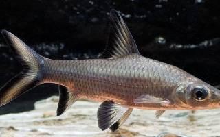 8 видов аквариумных мини акул: питание и совместимость с другими рыбами