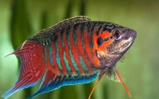 Рыбка макропод: содержание, уход и совместимость с другими аквариумными рыбами