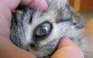 9 опасных болезней глаз у кошек: что делать, чем лечить в домашних условиях