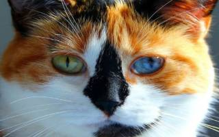 Кошки с разными и большими глазами: лучшие породы