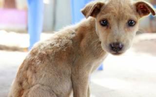 Цирроз печени у собак и другие заболевания печени: симптомы и лечение заболевания