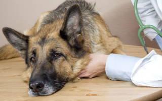 Отравление у собаки: симптомы и лечение в домашних условиях, диета и профилактика