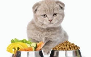 Шотландские вислоухие котята: каким кормом кормить, питание, как ухаживать