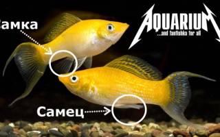 Моллинезия черная: содержание, уход и правила размножения аквариумной рыбки