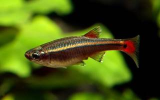 Рыбка кардинал: содержание и уход, совместимость с другими аквариумными рыбками