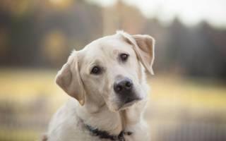 Половые органы у собаки: вагина и член, строение