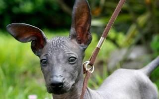 Перуанская голая собака: описание породы, содержание и уход, стоимость в питомниках