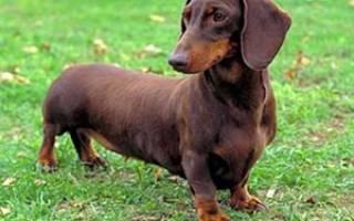 Жесткошерстная такса: описание и характеристика породы, содержание и уход, стоимость щенка