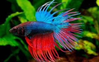 Лабиринтовые аквариумные рыбки: перечень, виды, описание и содержание в аквариуме