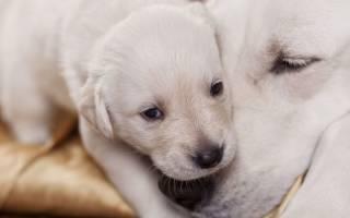 Эклампсия у собак: симптомы и правильное лечение послеродовой болезни, первая помощь и профилактика