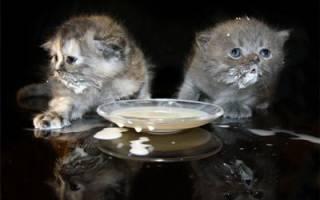 Британские котята: уход, воспитание и кормление, прививки и содержание