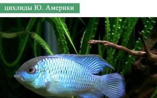 Наннакара неоновая: содержание и разведение, совместимость с другими аквариумными рыбками