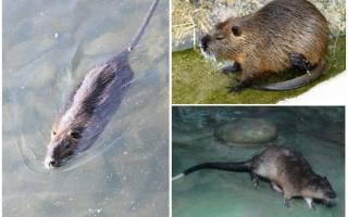 Водяная крыса: как выглядит и где обитает, вред и польза для человека