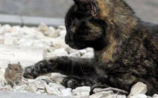 Кот крысолов: представители породы, выбор котенка, темперамент и воспитание