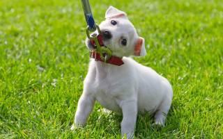 Как приучить щенка или собаку к ошейнику и поводку: особенности, штраф за выгул в неположенном месте
