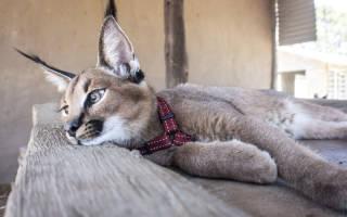 Кошка каракал: содержания в домашних условиях, описание породы