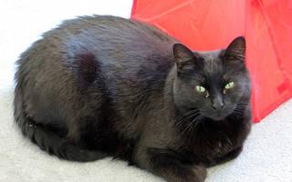 Перхоть на спине у кошки: причины и лечение, профилактика, осложнения