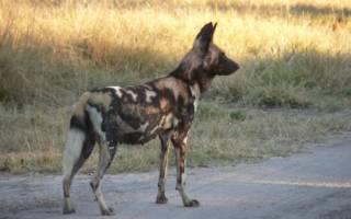 Африканская дикая гиеновидная собака: описание и ареал обитания, характер дикой африканской собаки