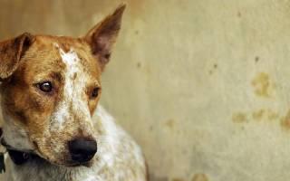 Чумка или чума плотоядных у собак: симптомы и лечение в домашних условиях