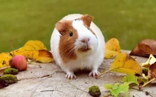 Почему морская свинка так называется: 3 возможные версии