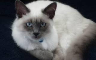 Балинезийская порода кошки: описание породы и цены в питомнике