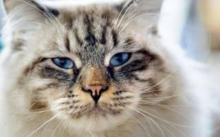 Порода кошек рагамаффин: что это такое, описание и характеристика, темперамент