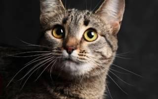 Калифорнийская сияющая кошка: описание породы, содержание и уход