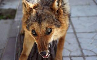 Бешенство у животных: симптомы и признаки, опасность для человека и профилактика
