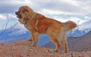 12 лучших сторожевые породы собак: описание и стоимость щенков