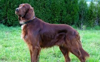 Ирландский сеттер: описание породы собак и характеристика, стоимость щенка в питомниках