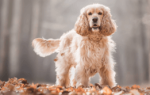 Кокер спаниель: описание и характеристика породы, стоимость щенков
