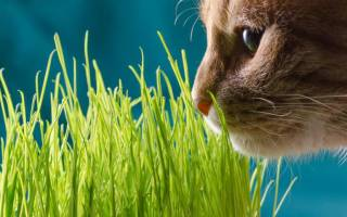 Трава для кошек: какую траву любят, как посадить и вырастить дома