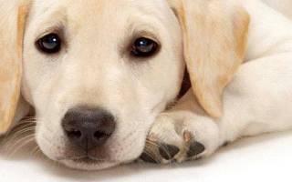 Эпилепсия у собак: причины возникновения и последствия, что делать