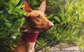 Египетская фараонова собака: описание породы и характеристика, содержание и уход, стоимость щенка