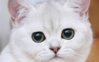 Короткошерстная кошка бурмилла: описание и характеристики породы