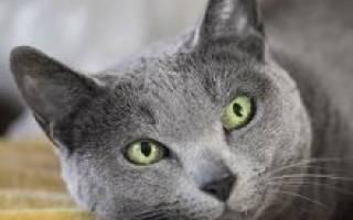 Русская голубая кошка: описание породы, характера и повадок