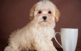 Собака мальтипу: описание породы и характеристика, дрессировка и разведение, стоимость щенков